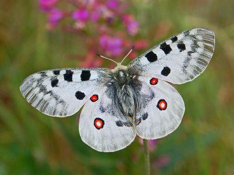 Parnassius_apollo-butterfly