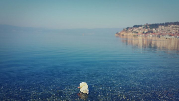 Lake Ohrid Swan